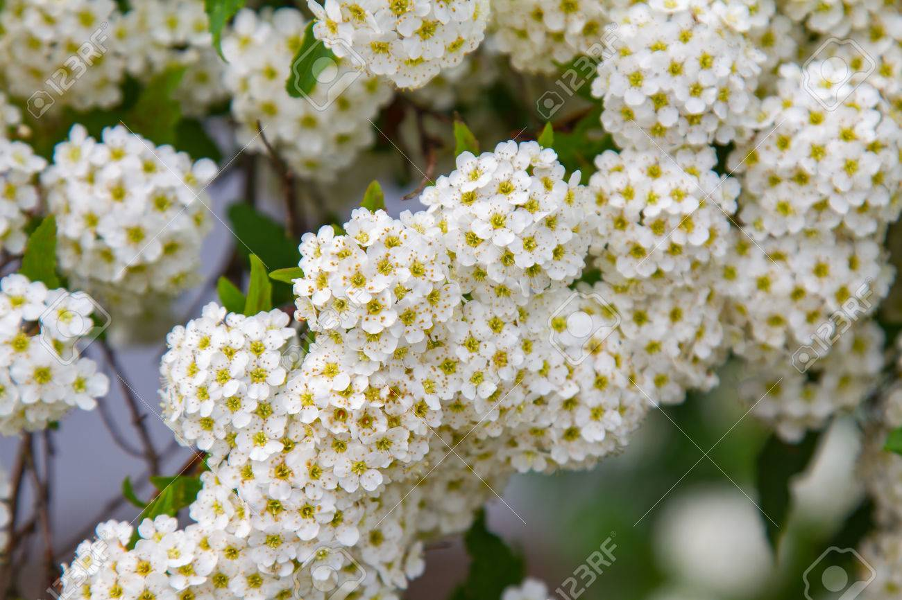 Spring Blooming Guelder Rose Shrub Round White Flowers Stock Photo