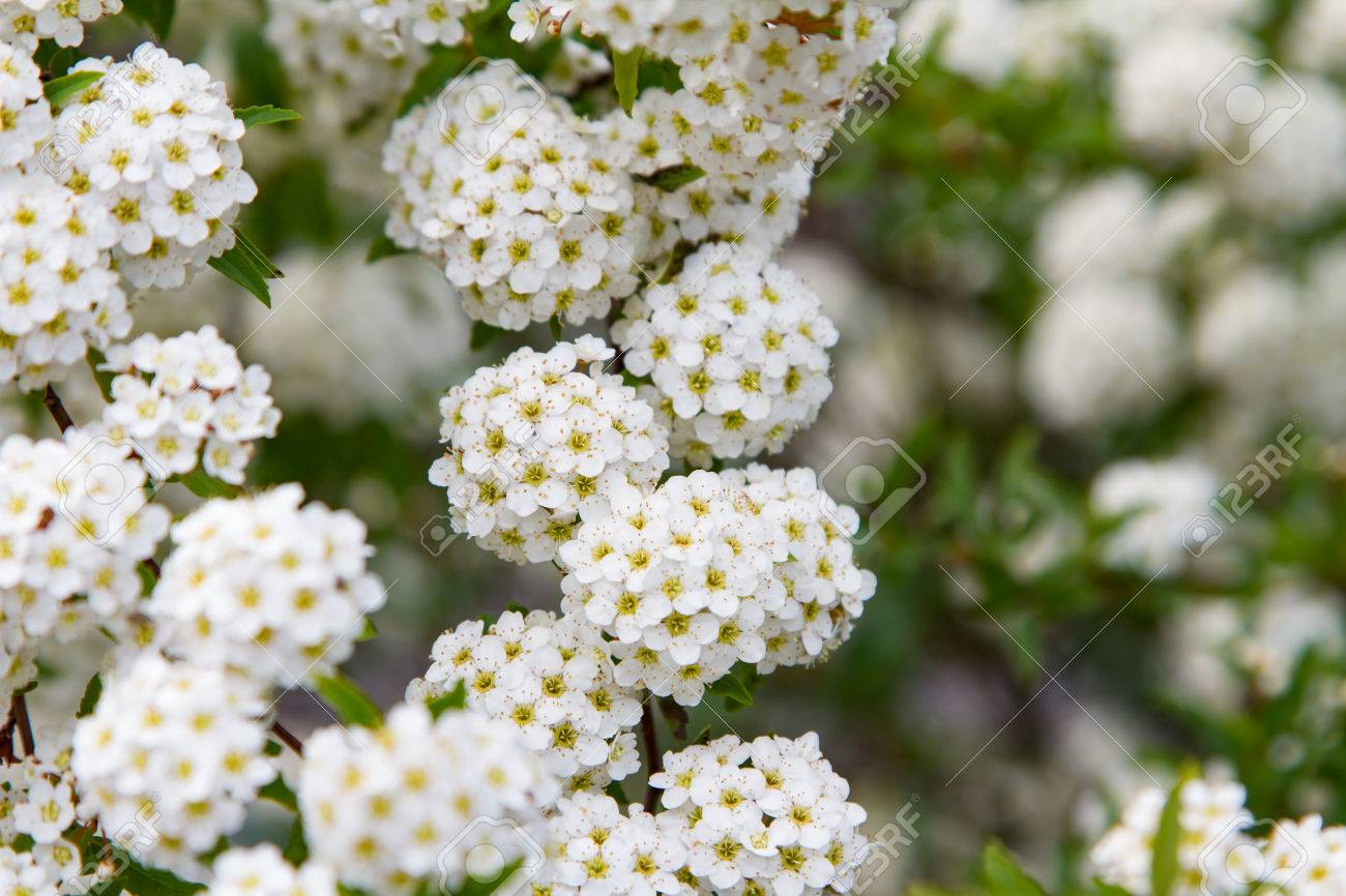 Spring Blooming Guelder-rose Shrub, Round White Flowers Stock Photo ...