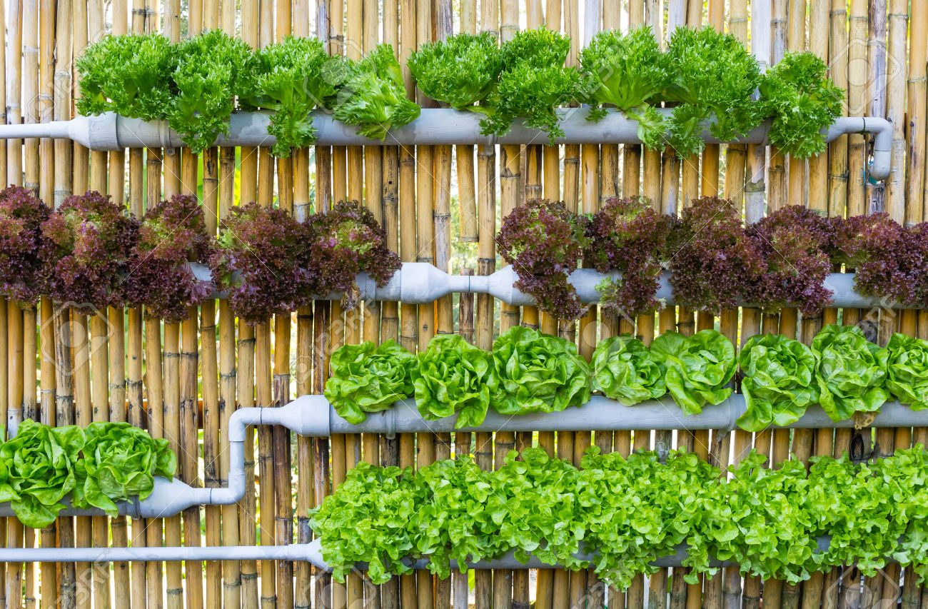 hydroponic vertical garden. Organic Hydroponic Vegetables Vertical Garden Stock Photo - 27568846 R