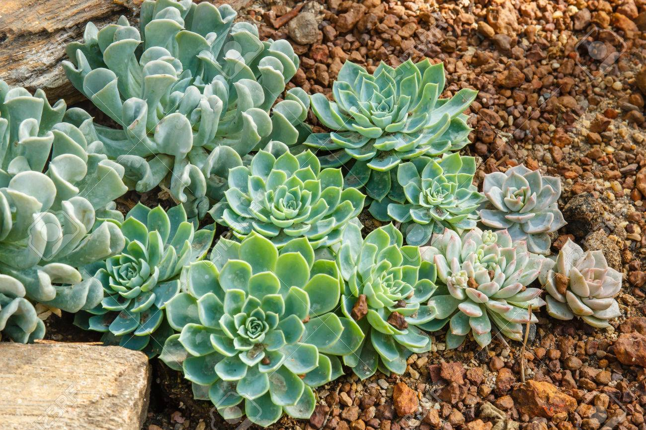 Group Of Echeveria Plants Rose Of Desert In Desert Garden Stock