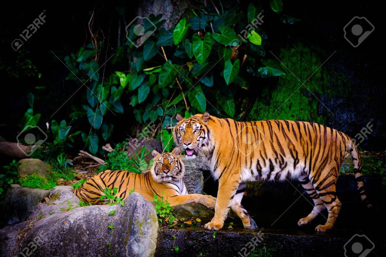 indochinese tiger in the open zoo - 128028784