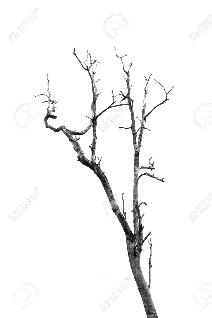 Dead Tree Without Leaves On White Stock Photo Picture And Royalty Free Image Image 128029523 Drawing trees might not seem so difficult at first. 123rf com