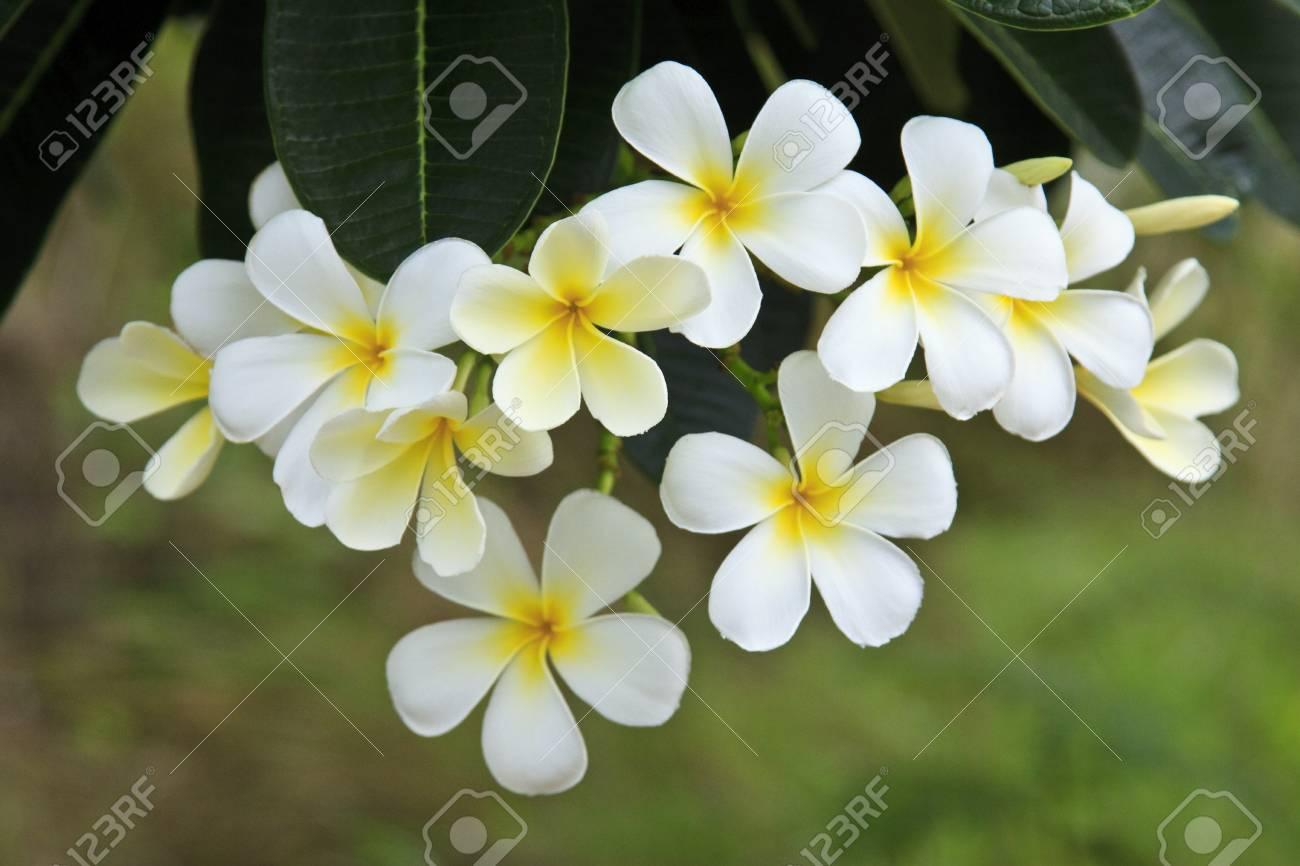 Plumeria alba flowers on blur background Stock Photo - 7179749