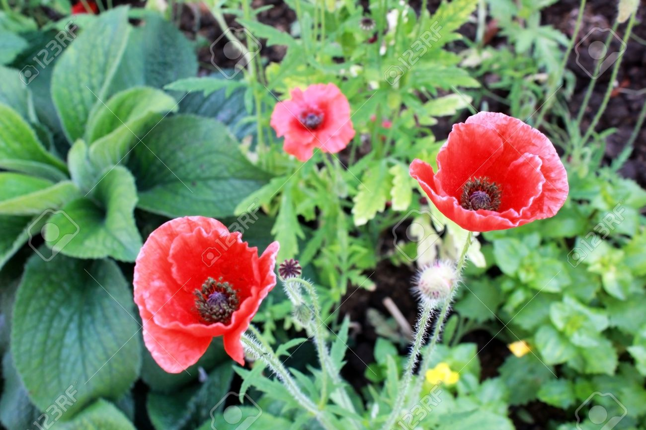 Red Opium Poppy Flower Papaver Somniferum Stock Photo Picture And
