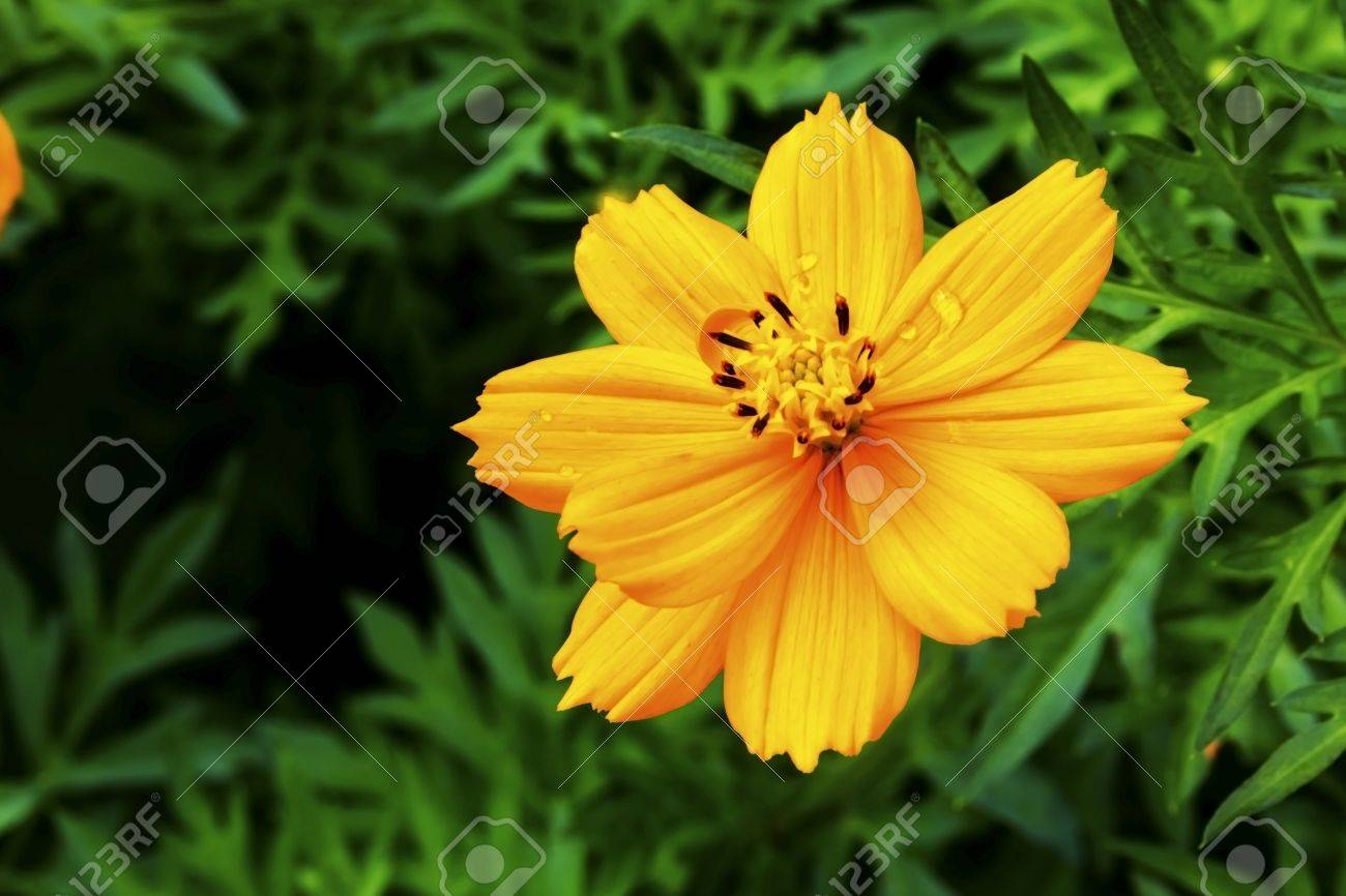 Cosmos Are Herbaceous Perennial Plants Growing 0 3 2 M 10 In 6