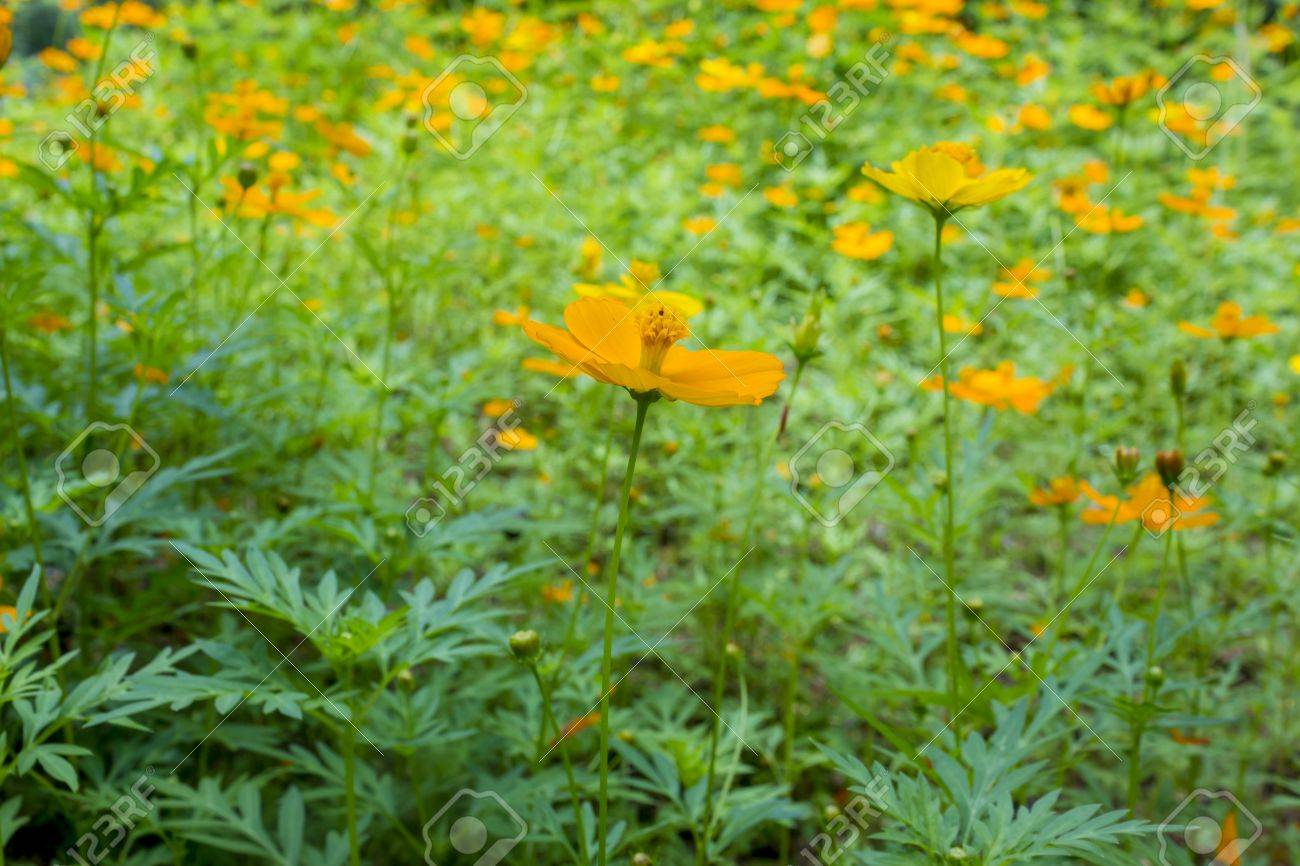 Cosmos Are Herbaceous Perennial Plants Growing 0 32 M 10 In6 Ft 7