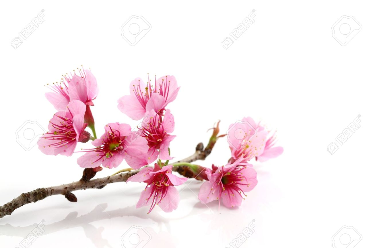 Cherry Blossom Pink Sakura Flower Stock Photo Picture And Royalty