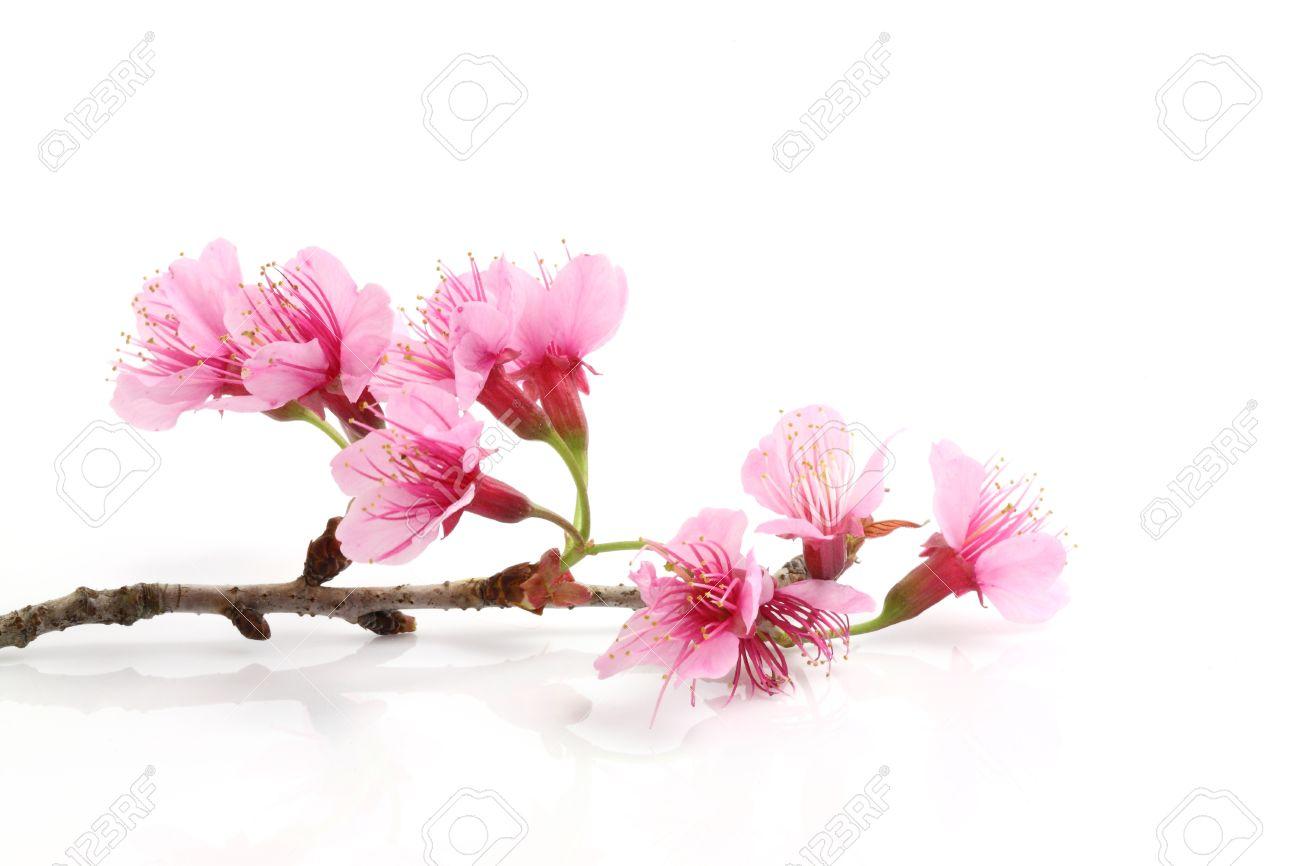 Cherry blossom pink sakura flower stock photo picture and cherry blossom pink sakura flower stock photo 10202964 dhlflorist Images