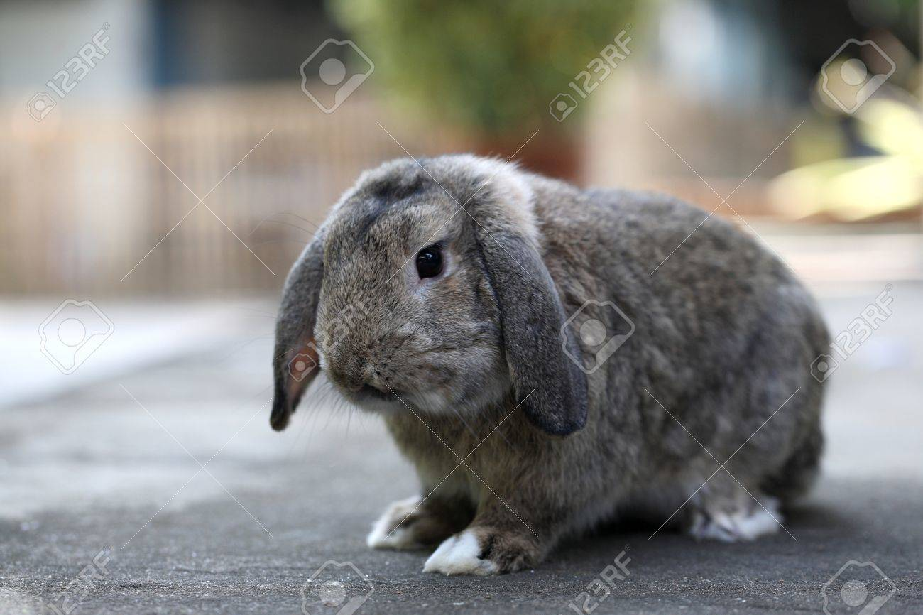 Adorable brown baby holland lop rabbit bunny Stock Photo - 10084248