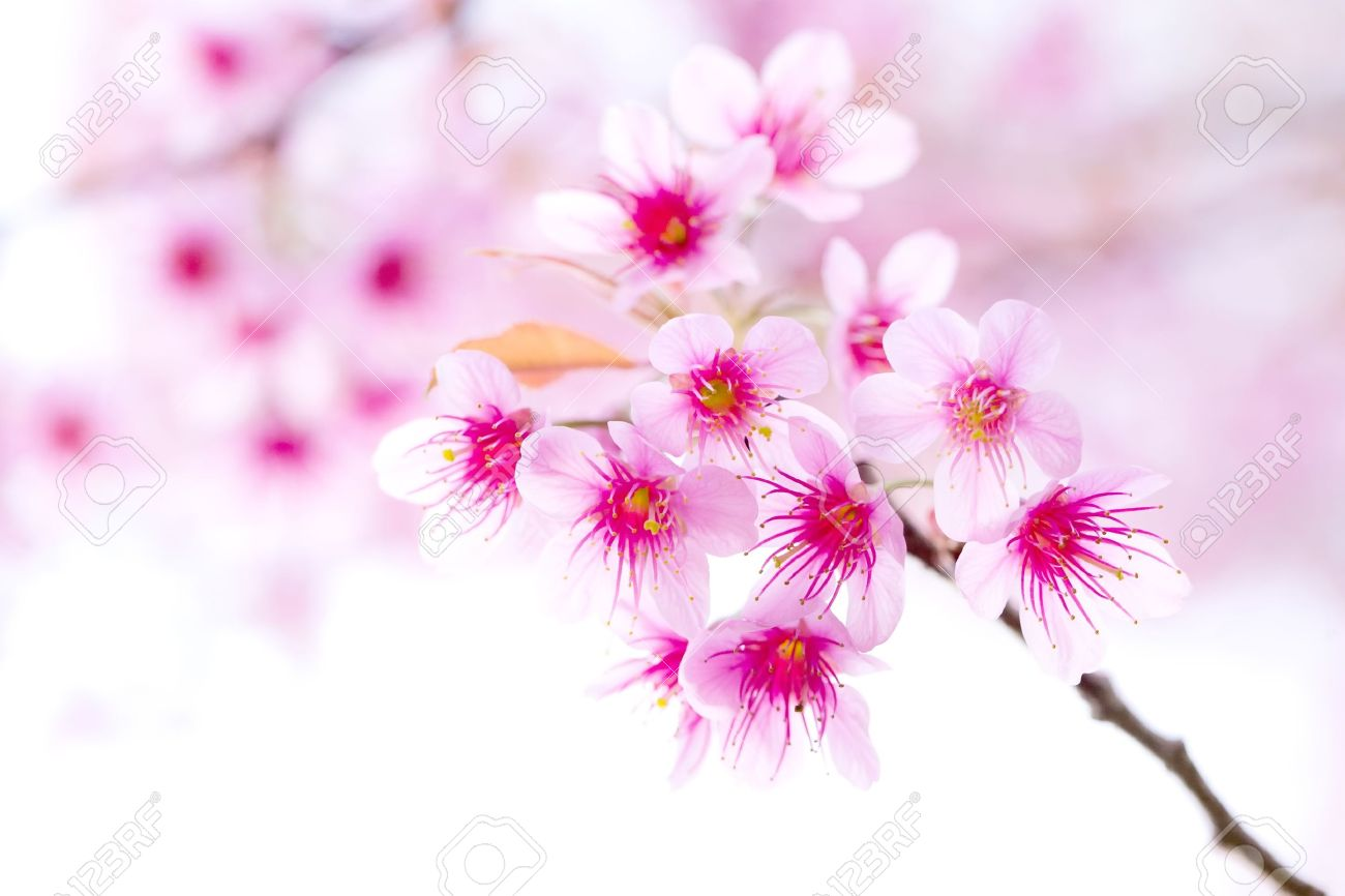 Cherry Blossom Pink Sakura Flower Close Up Stock Photo Picture