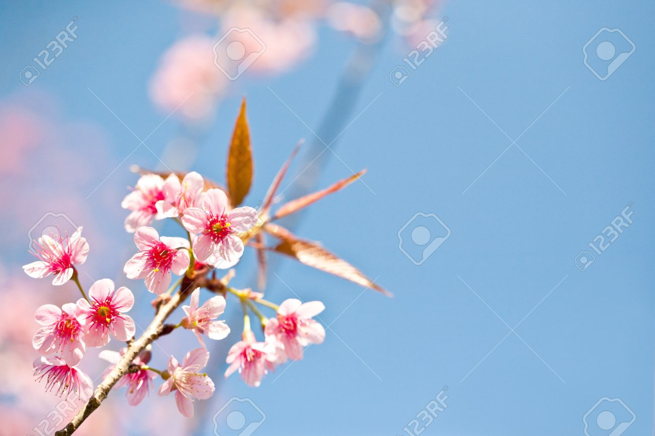 Cherry blossom pink sakura flower close up stock photo picture cherry blossom pink sakura flower close up stock photo 10022034 mightylinksfo