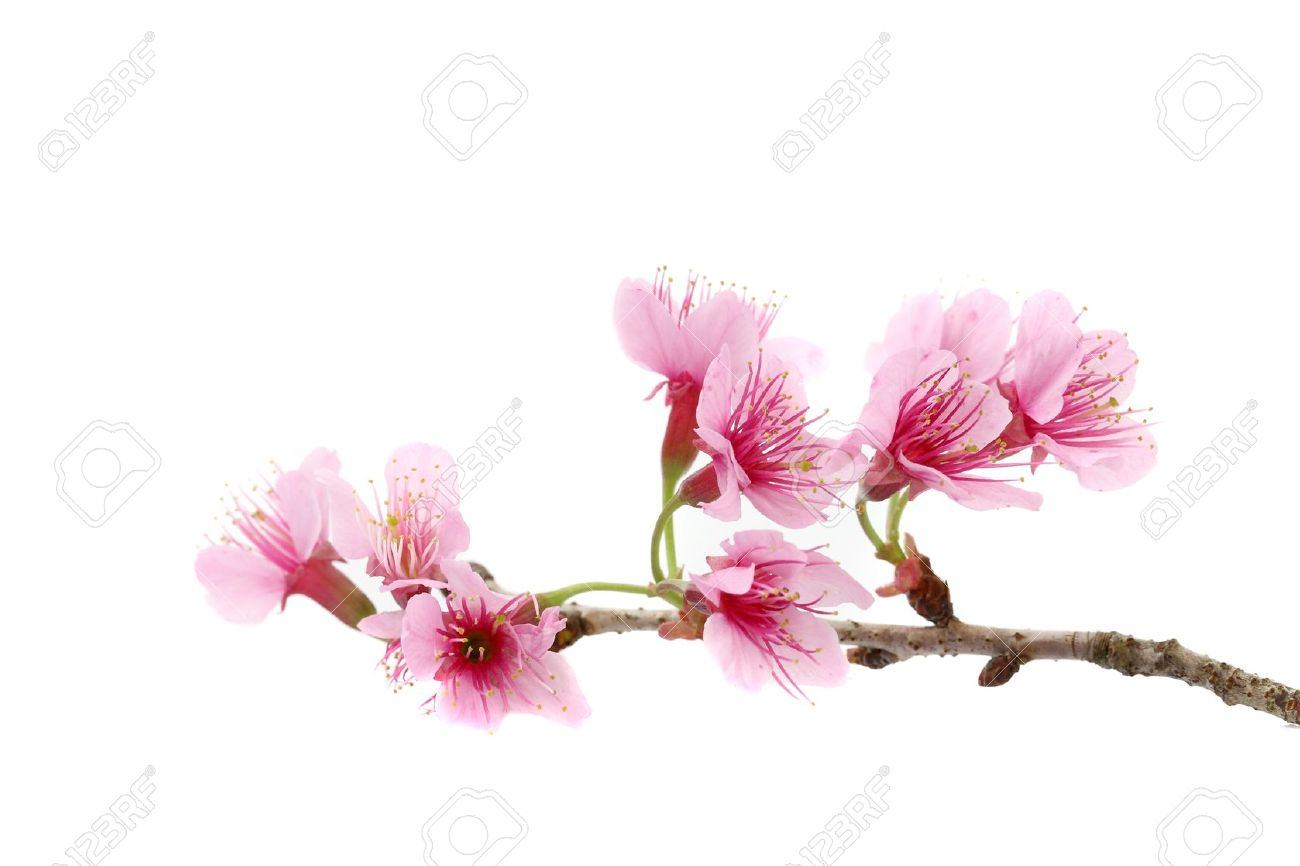 Cherry blossom pink sakura flower isolated in white background cherry blossom pink sakura flower isolated in white background stock photo 10401027 dhlflorist Images