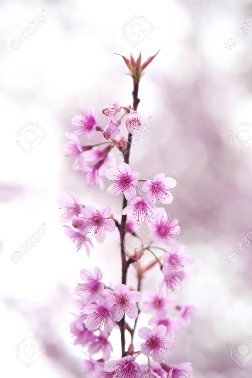 Cherry blossom Standard-Bild - 11991527