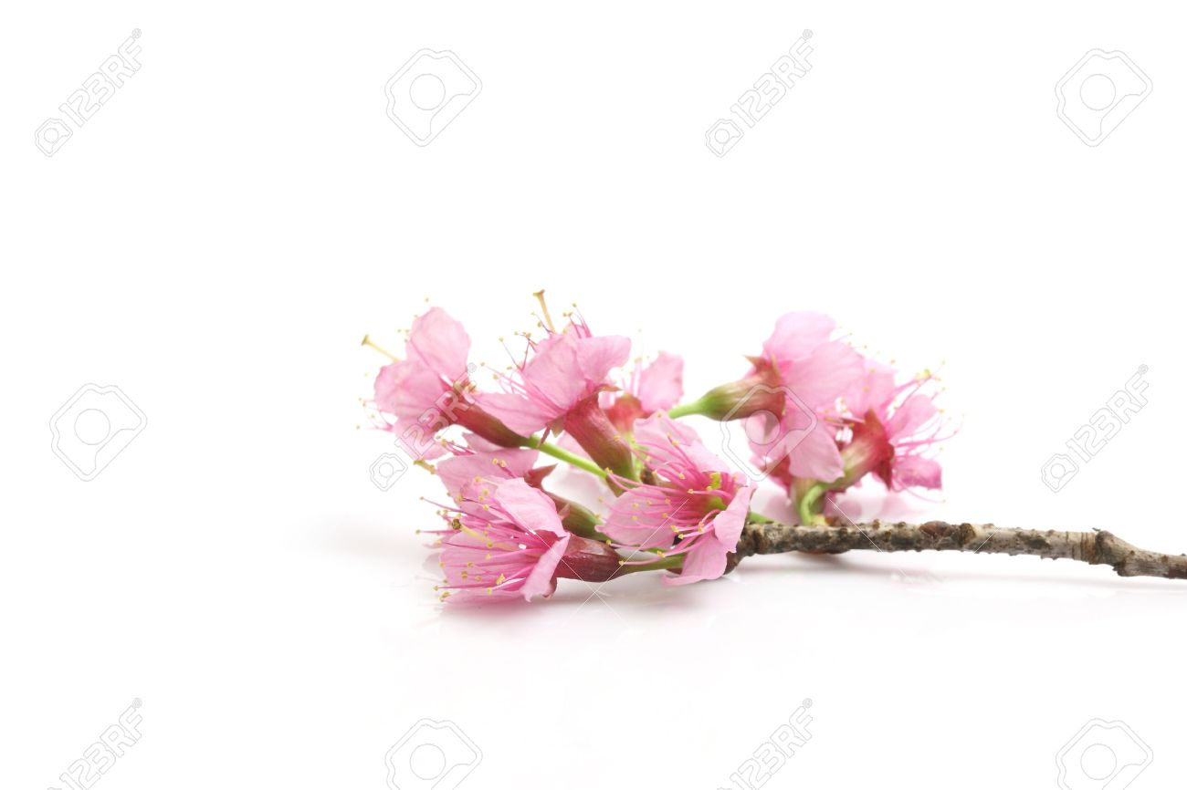 Cherry blossom pink sakura flower isolated in white background cherry blossom pink sakura flower isolated in white background stock photo 12174006 dhlflorist Images