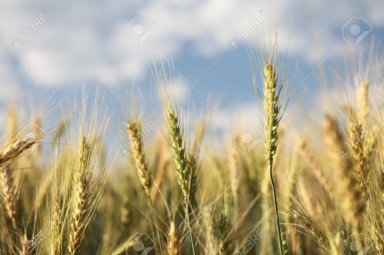 Wheat field and blue sky Stock Photo - 18437943