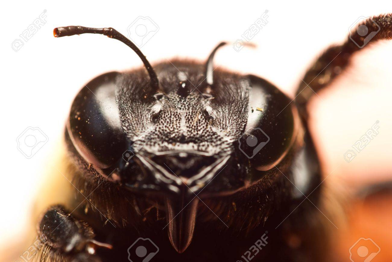 face of a bee at a close up perspective stock photo picture and