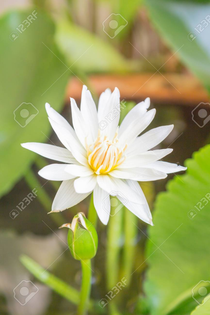 Lotus Flower Blossom Stock Photo Picture And Royalty Free Image