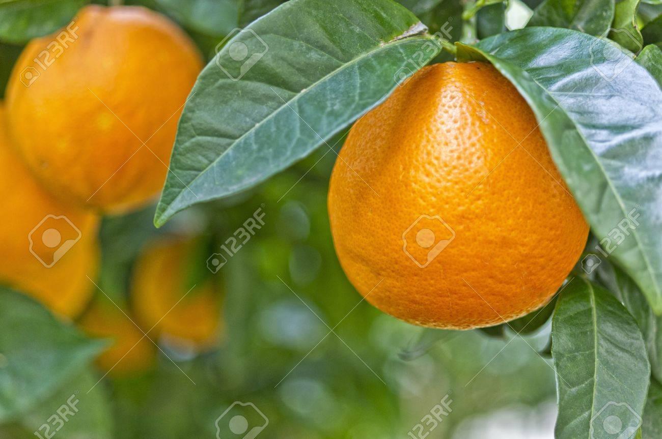 Colores Sorprendentes De Una Naranja En El árbol Fotos, Retratos ...