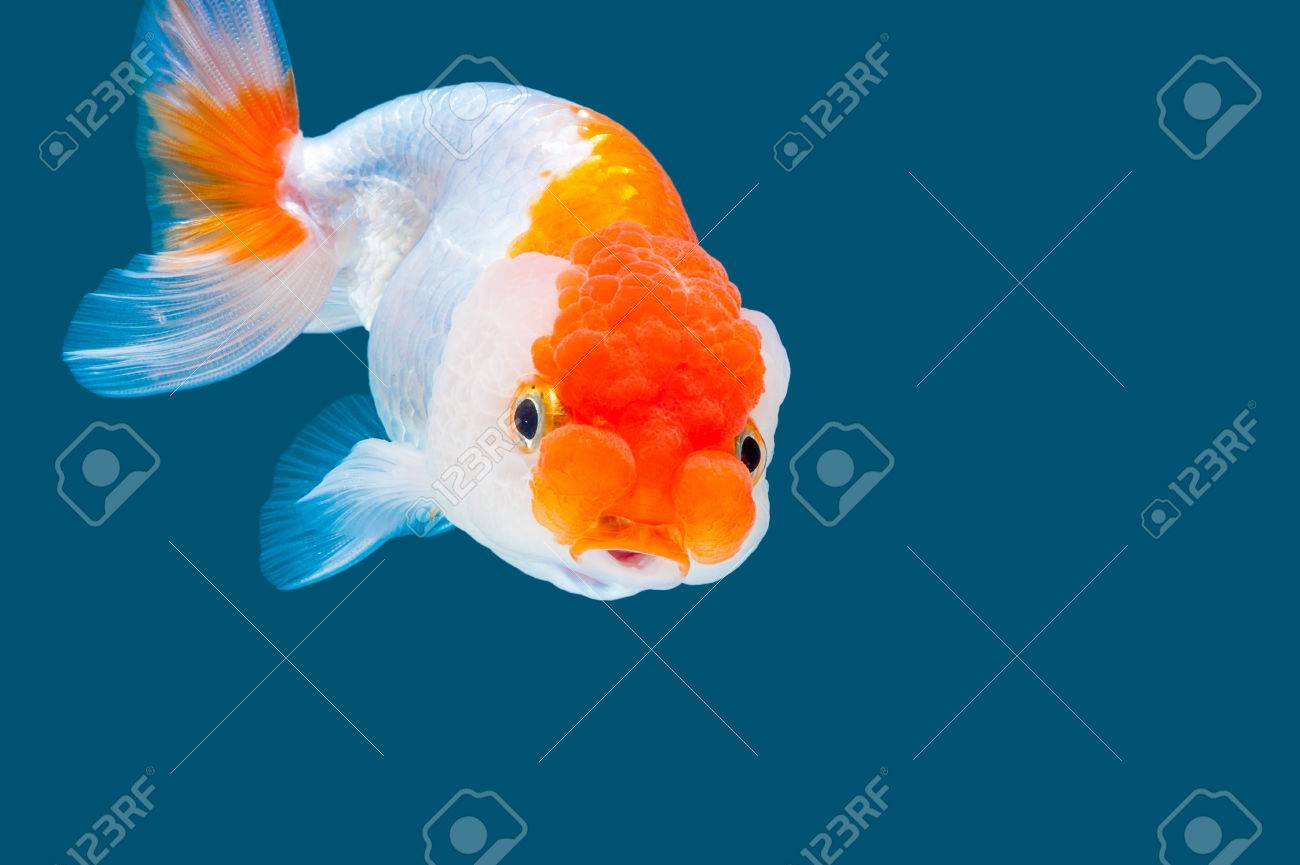 Ranchu Goldfish Isolated On Water Color Background Stock Photo Picture And Royalty Free Image Image 43138610