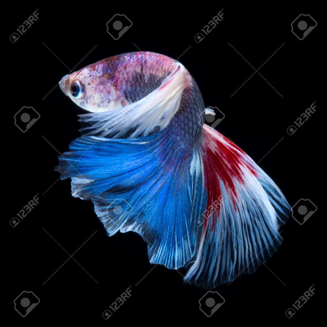 Peces Betta En Fondo Negro Captura El Momento En Movimiento De Pescado Que Lucha Siamés Rojo Azul Sobre Fondo Negro Pez Betta Peces De Tailandia