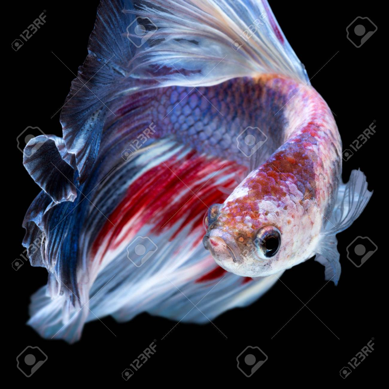 Betta Fish In Black Background Capture The Moving Moment Of