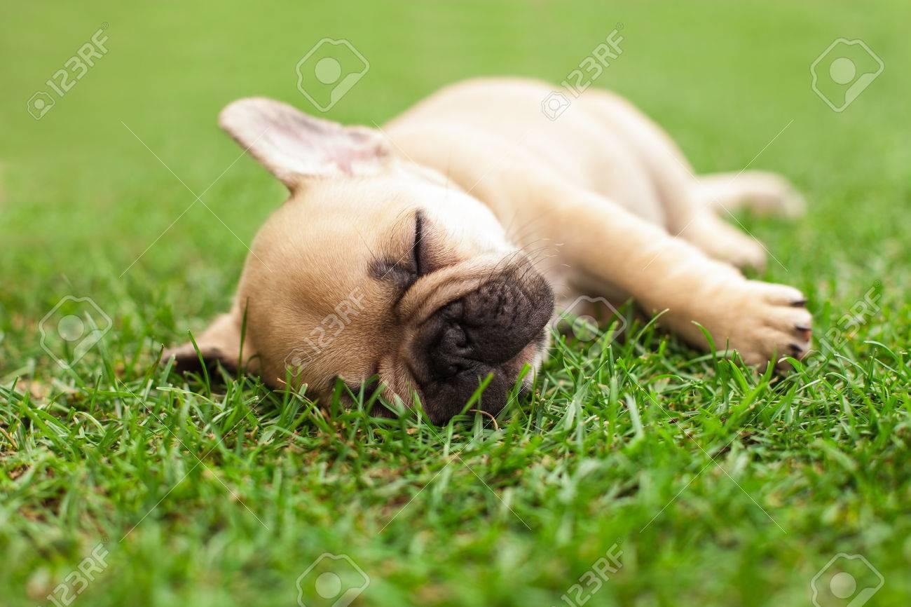 little sleeping French bulldog puppie lying on a beautiful green grass - 37942903