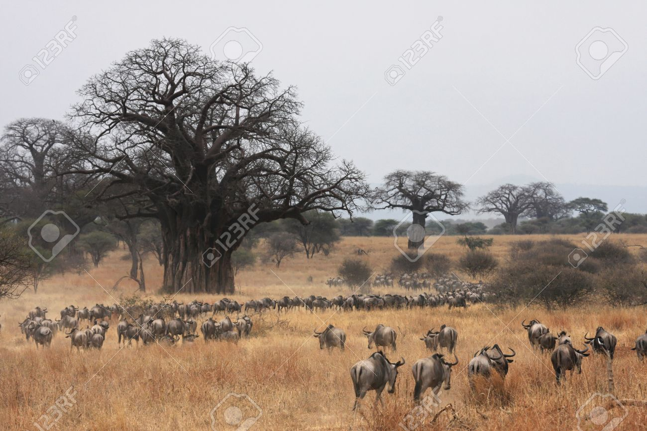 Wildebeest Migration and Baobabs Stock Photo - 10286562