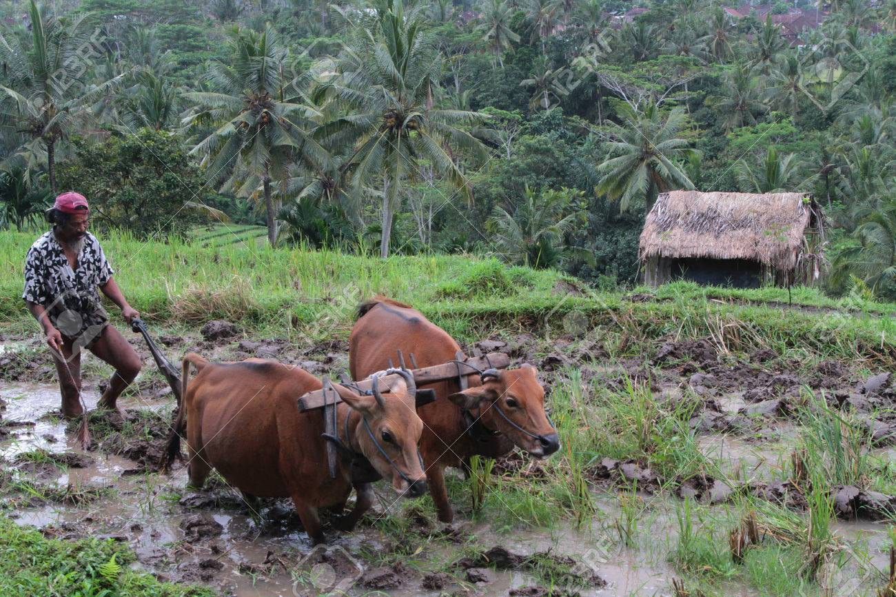 BALI, INDONESIA, AUGUST 17, 2014 : A Farmer Prepares The Ricefields