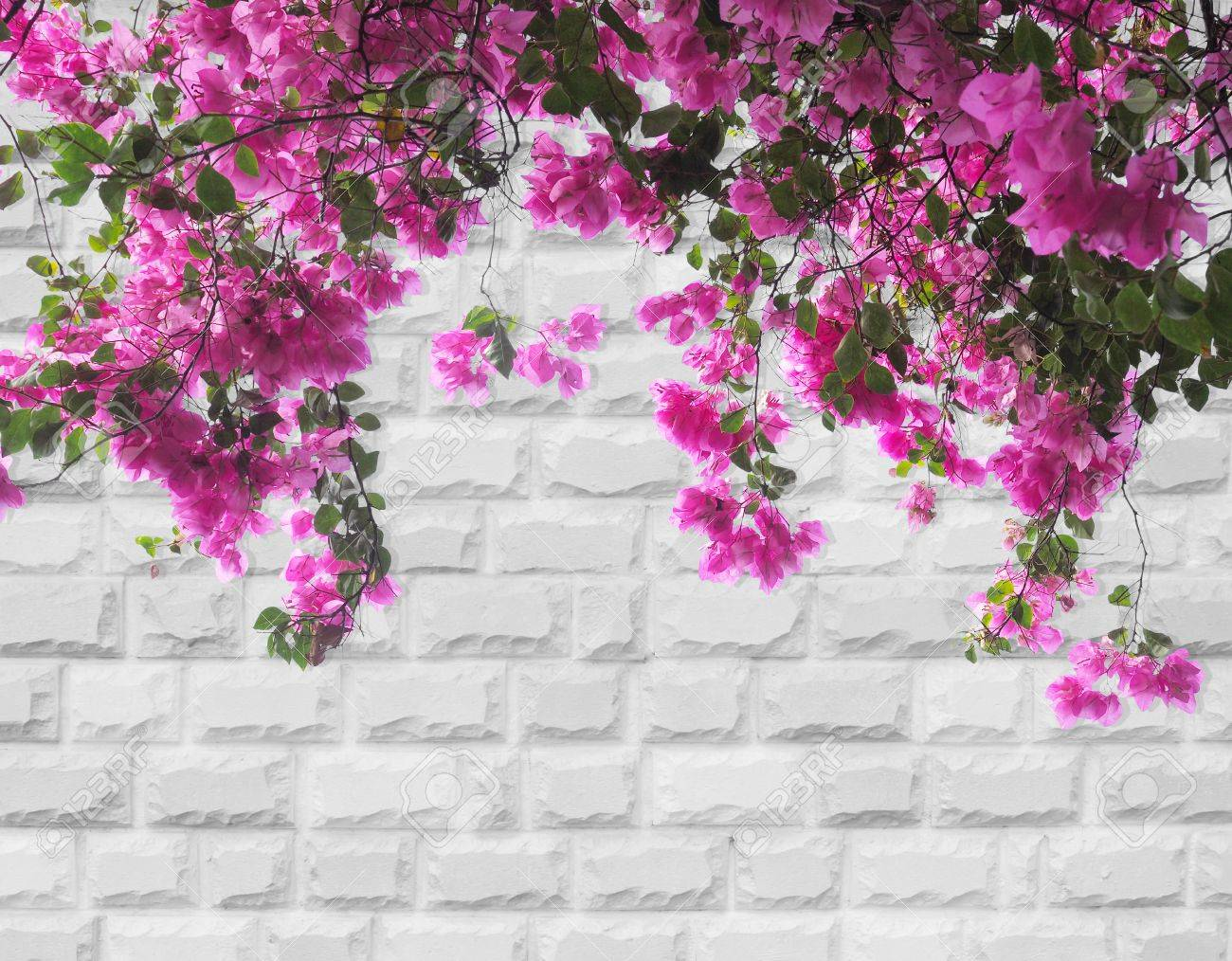 pink bougainvillea flower on grey brick wall background stock photo