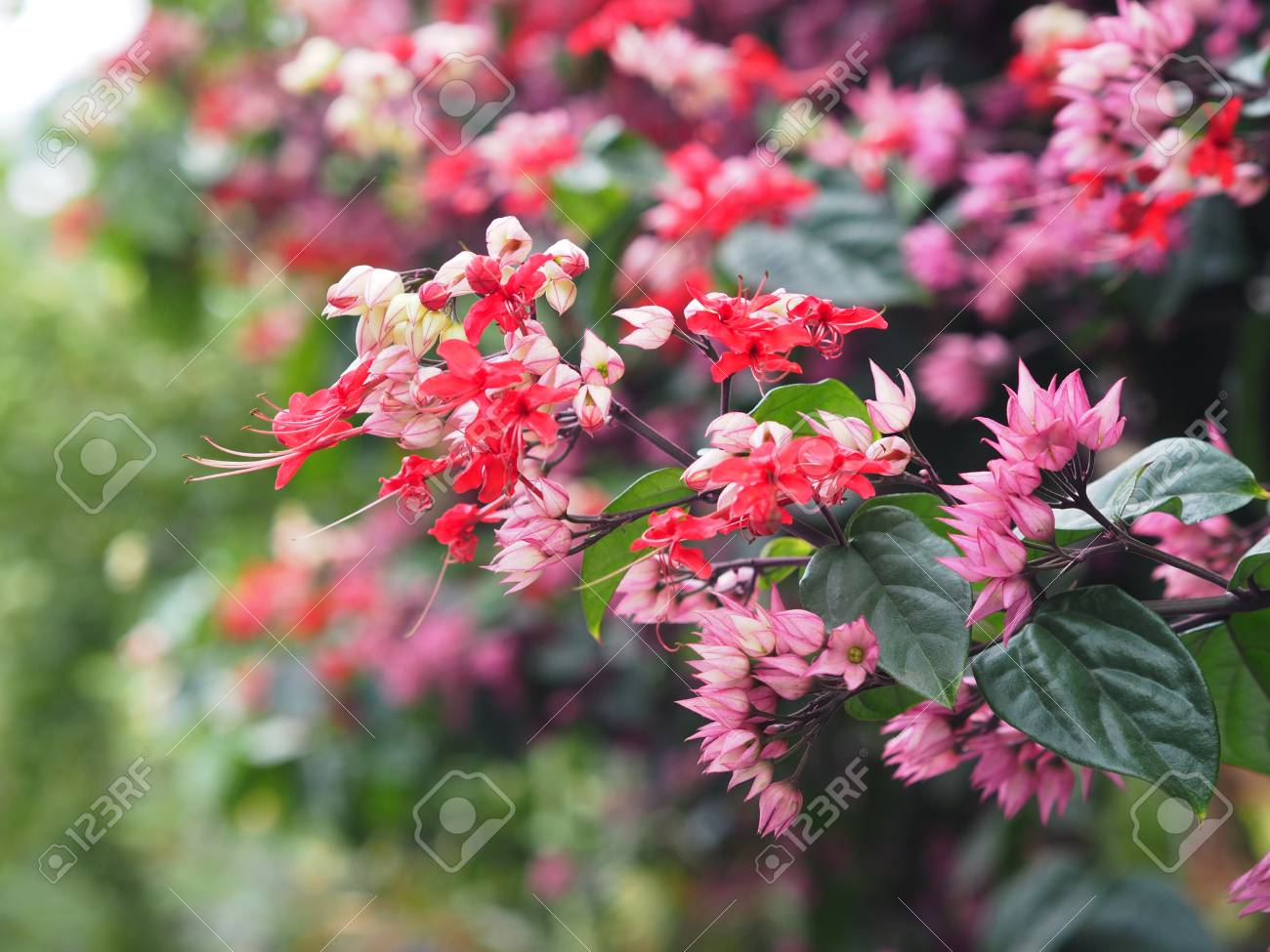 Small red and pink creeper flowers on green background bleeding small red and pink creeper flowers on green background bleeding heart vines pink flowers mightylinksfo