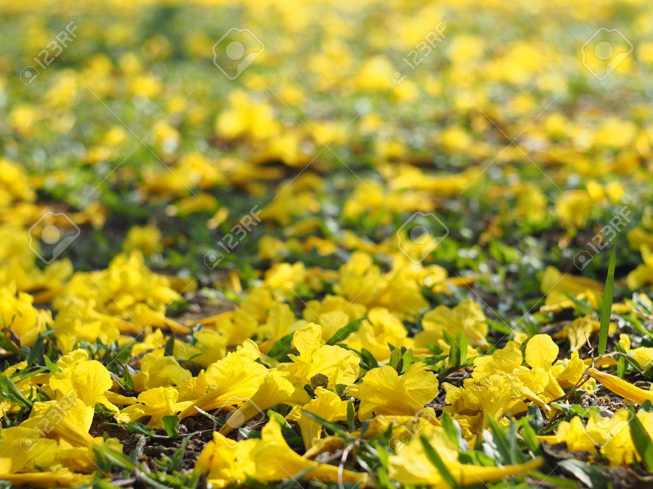 Close up yellow tabebuia rosea flowers fall on grass ground stock close up yellow tabebuia rosea flowers fall on grass ground stock photo 75864084 mightylinksfo