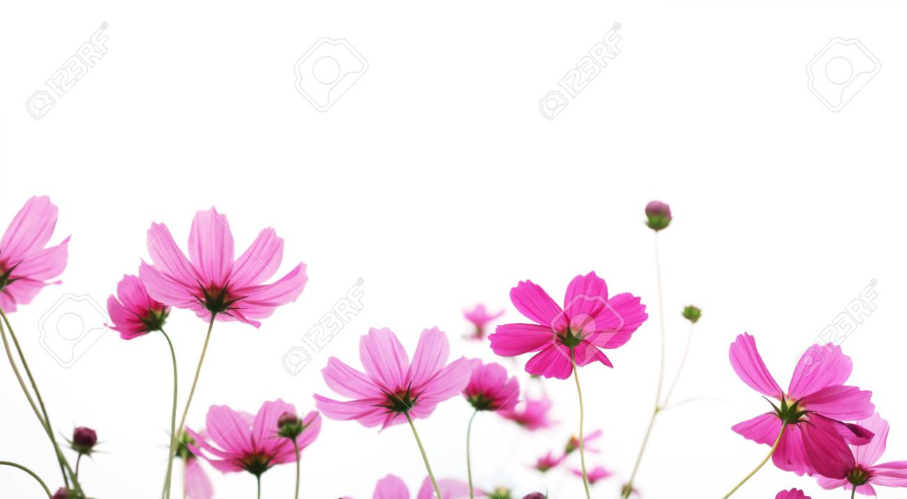 Close Up Pink Cosmos Flower In The Meadow Isolated On White Background Stock Photo Picture And Royalty Free Image Image 98134569