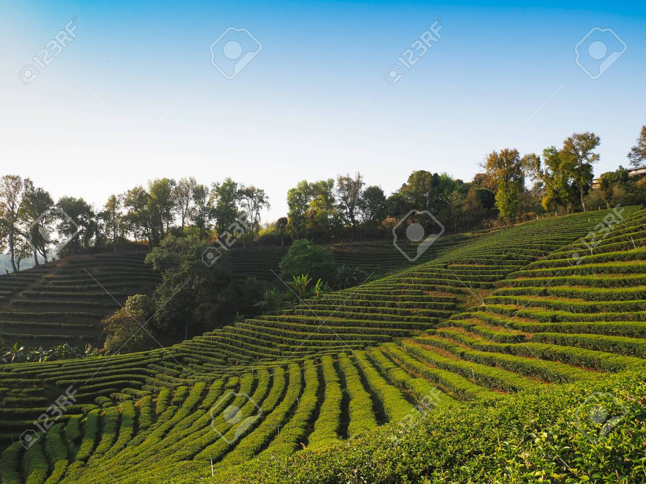 Landscape background of green tea farm on the mountain in the north of Thailand. - 141664467