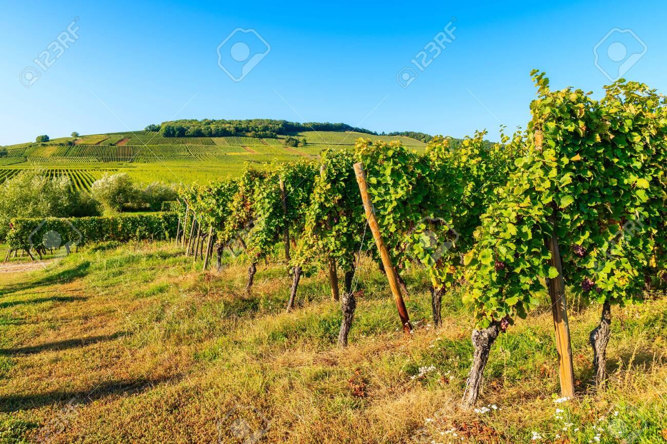 Vineyards on Alsatian Wine Route near Riquewihr village, France - 130816082