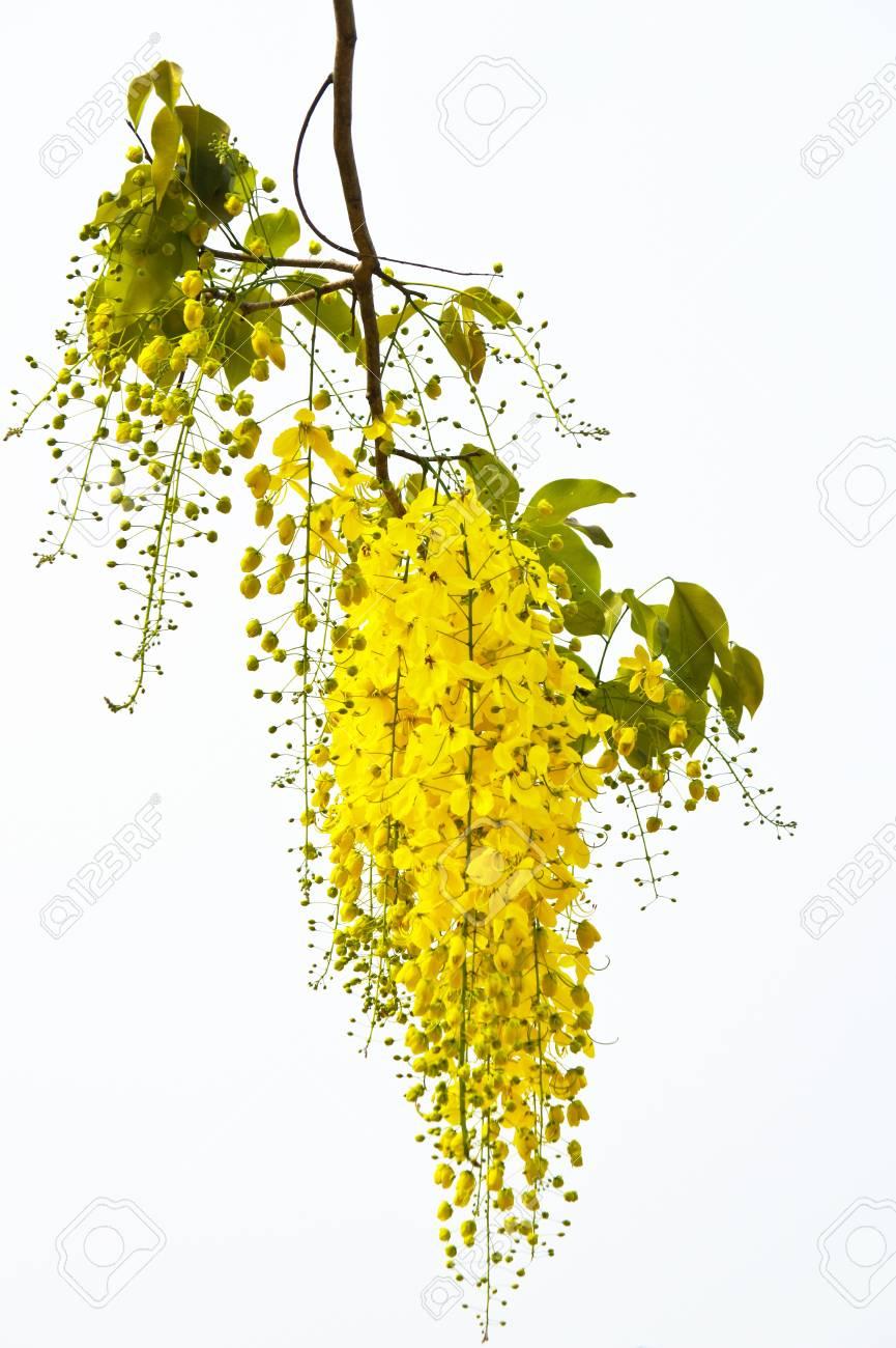 Cassia  fistula Stock Photo - 20696953