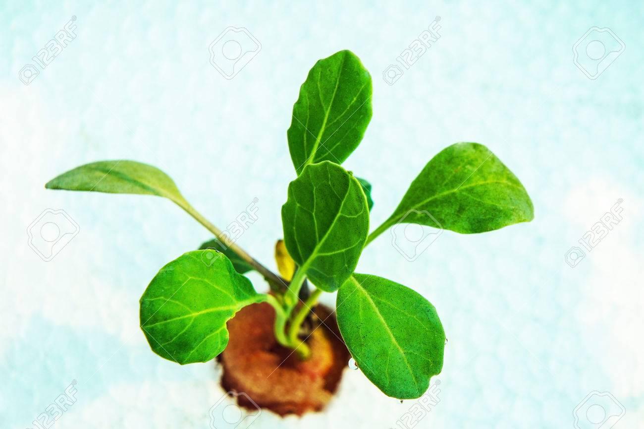 養液栽培植物 ロイヤリティーフ...