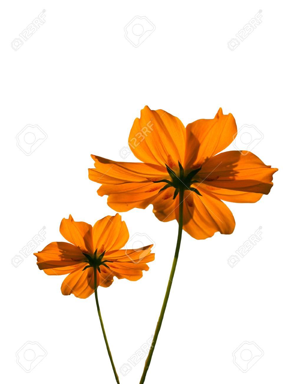 Orange Cosmos Flower Clip Art