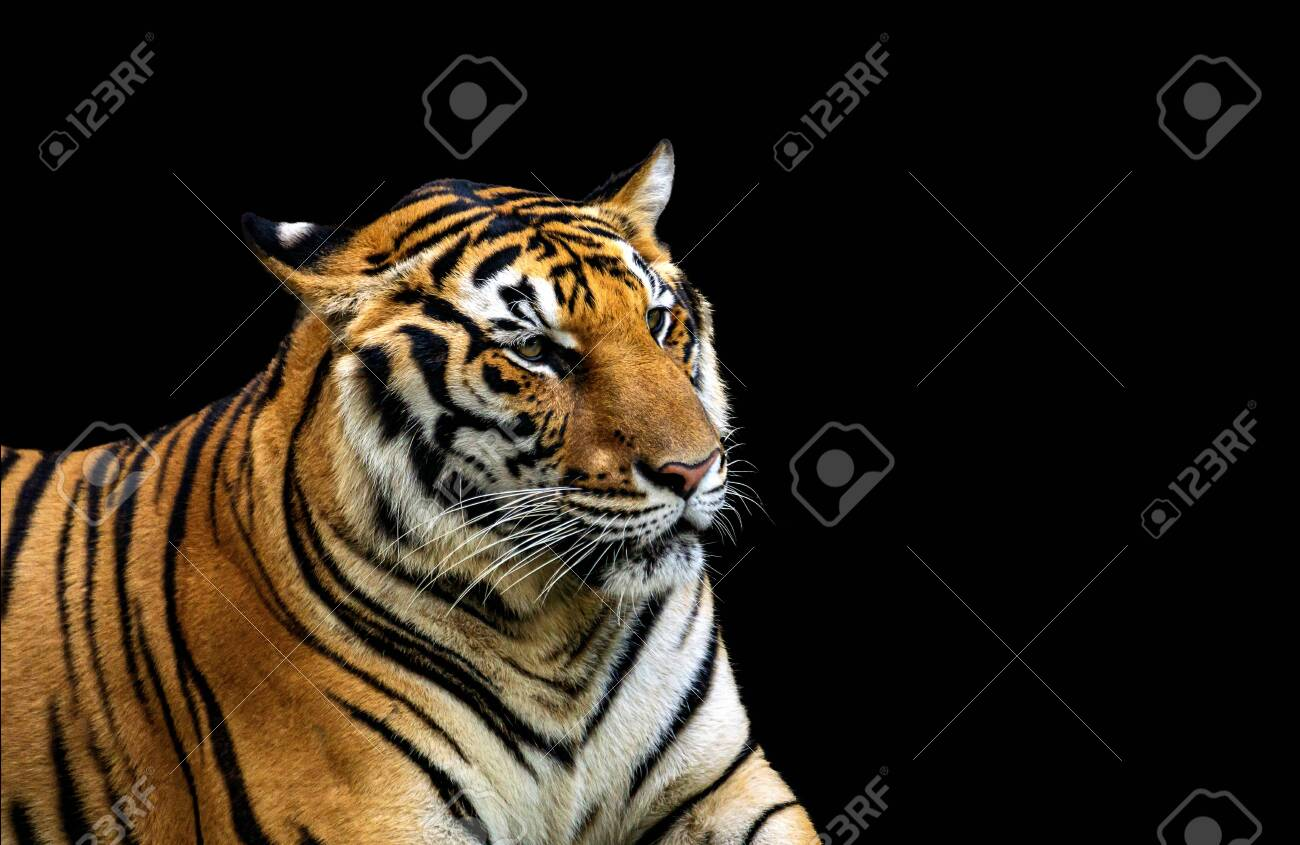 Asian tigers that are found in Thailand. Isolated on black background. - 138658669