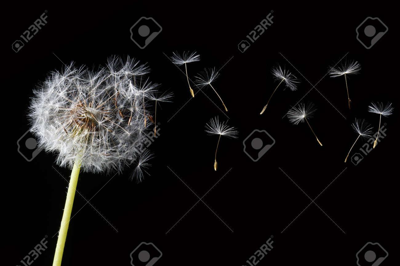 dandelion in the wind Stock Photo - 3123320