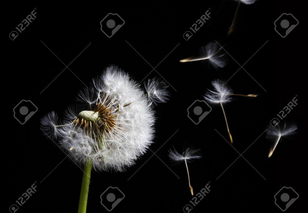 silhouette of dandelion in the wind on black background - 4477291