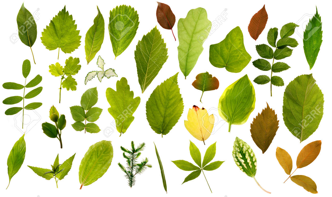 Big Collection Of Different Leafs On White Stock Photo