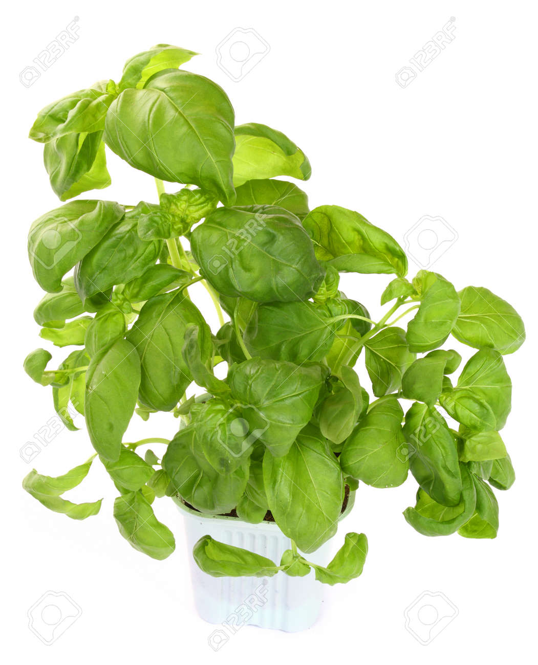 Fresh green basil plant isolated over white Stock Photo - 8606353