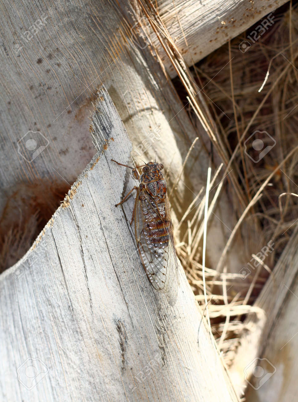 A European cicada showing its near perfect camouflage - 15845167