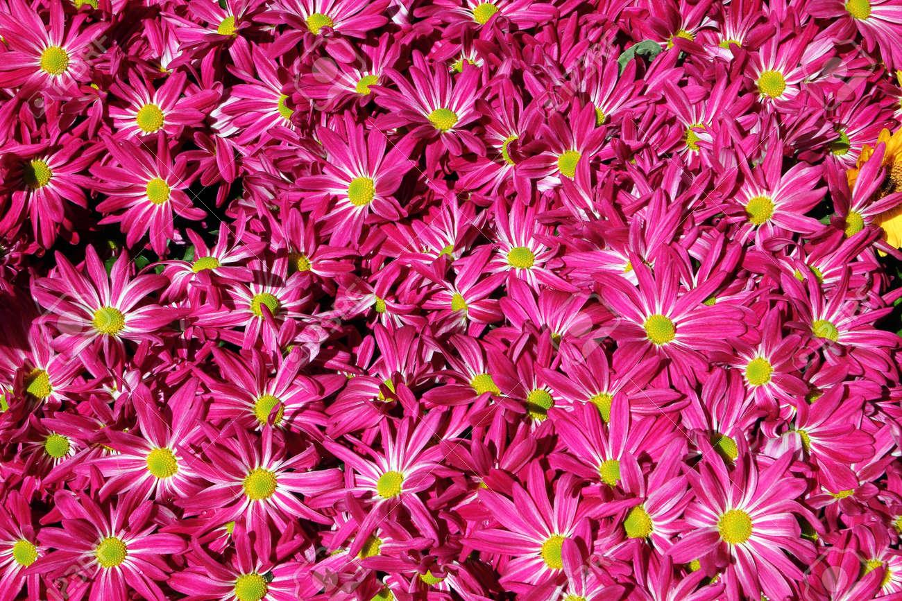 Chrysanthemum flower in the garden background close up - 16159841
