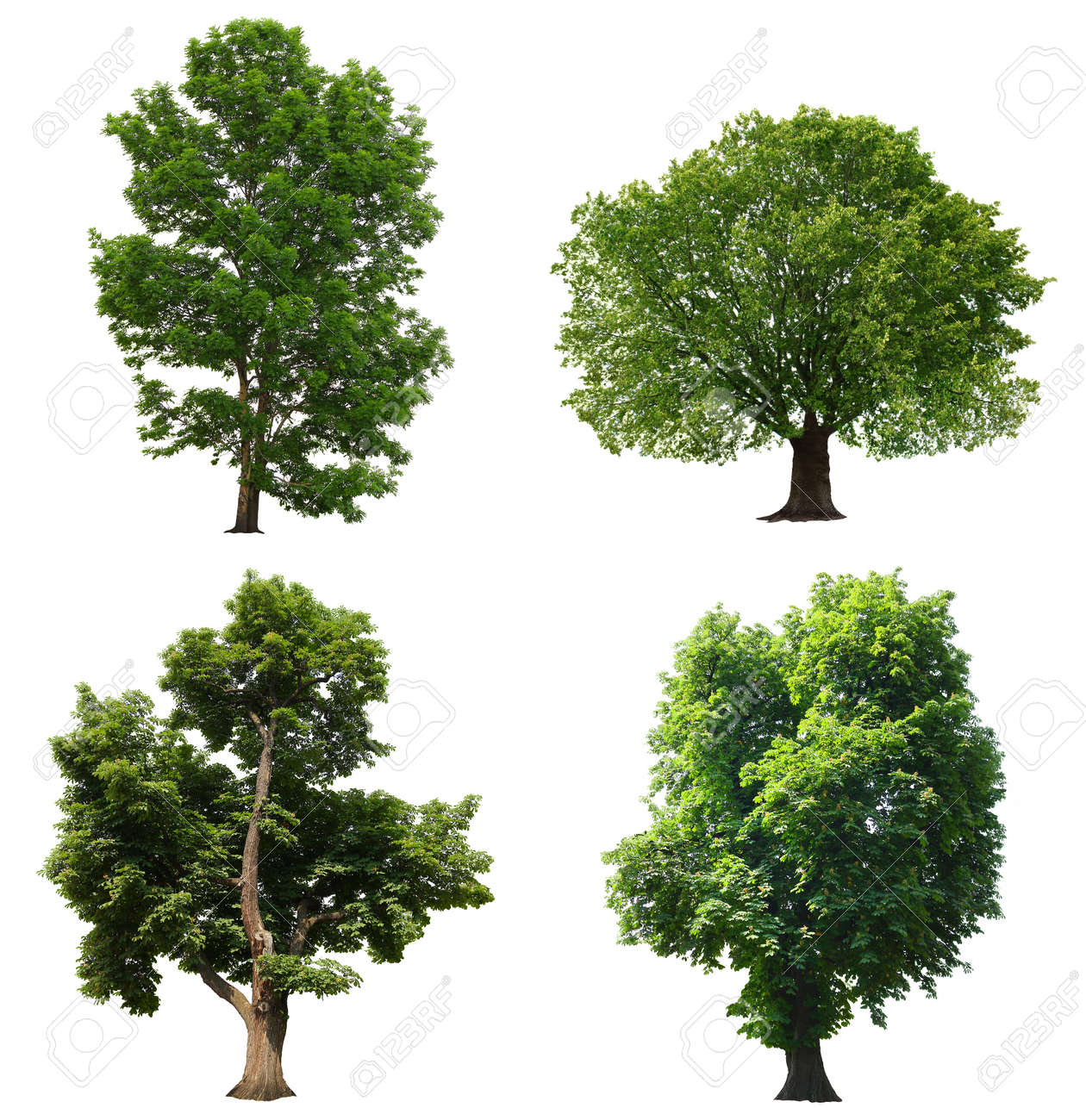 Trees with green leaves isolated on white background - 16210241