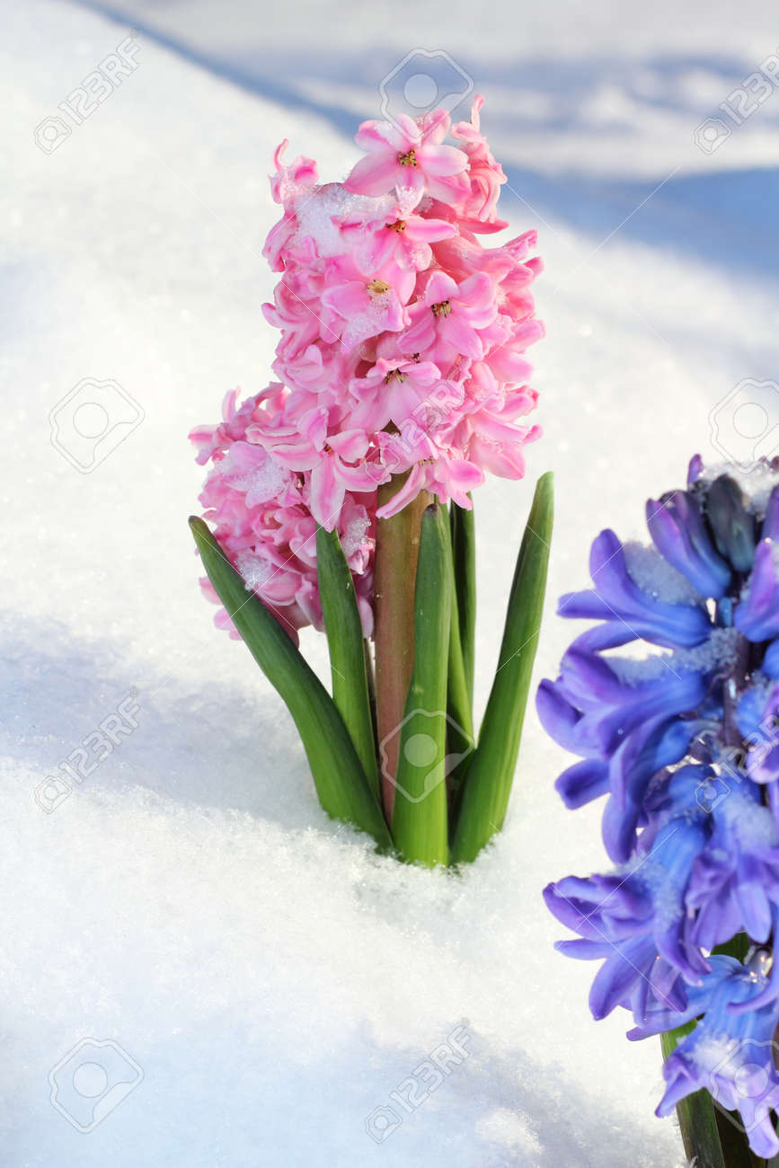 Colorful bouquet from hyacinth under the snow - 19337581