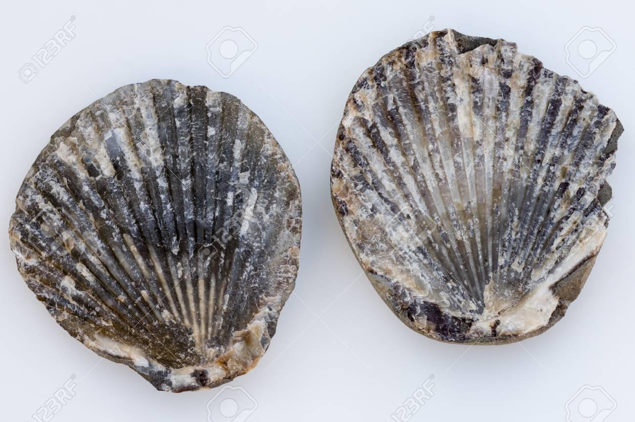 Fossilized clam shell found on the Oregon Coast  USA