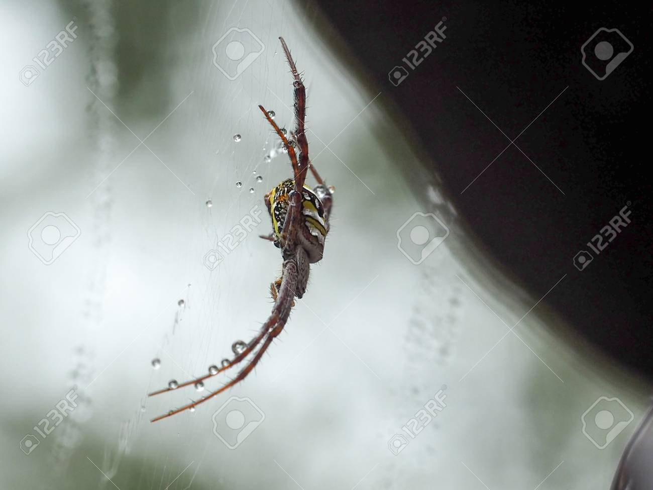 Handicapped Spider Has Only Six Leg On Its Web After Rain Drop Stock Photo Picture And Royalty Free Image Image 98691909