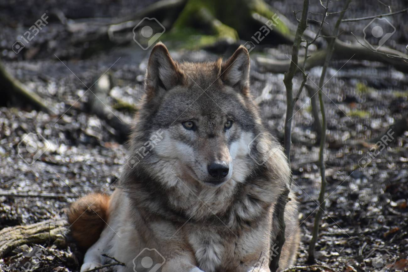 Wolf Germany beautiful portrait of a wolf in a forest in germany stock photo