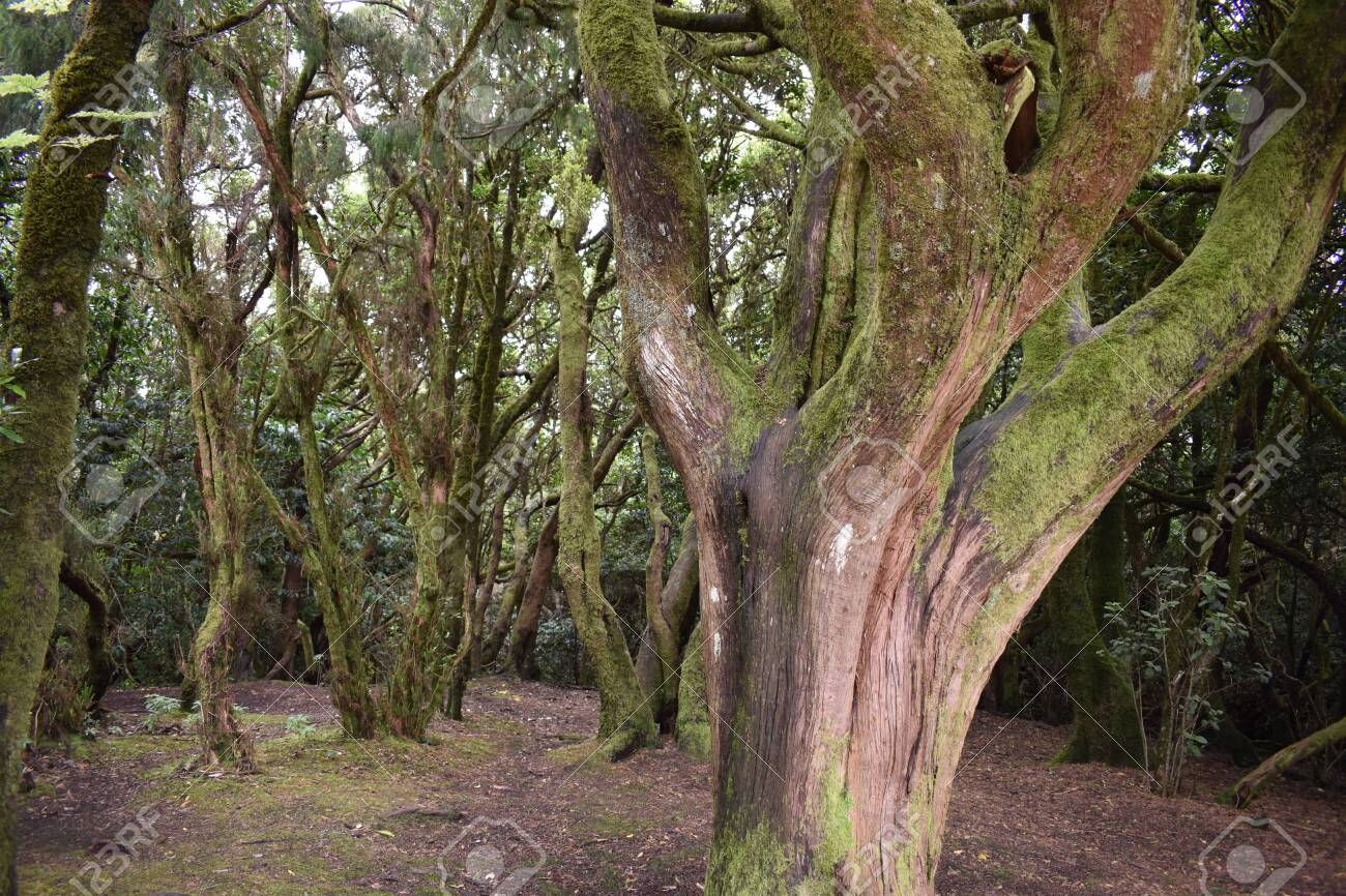 Beautiful laurel forest with many big green mossy trees in the north of Tenerife in the Anaga Mountains - 121719688